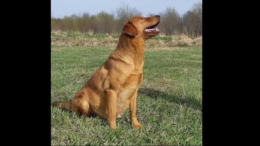 bailey-femelle-labrador-redshack-5.png