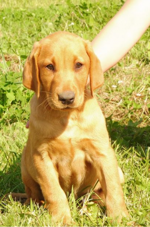 chuck-male-labrador-redshack-1.png